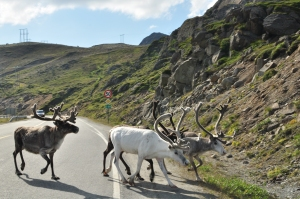 Reindeers in Norway