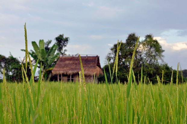 Rice paddies and hut copy